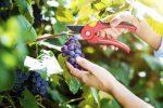 Jak i kiedy przycinać winogron?