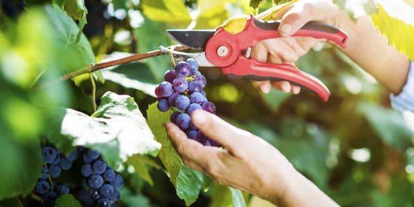 jak i kiedy przycinać winogron
